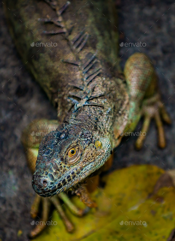 Iguana shallow depth of field with focus on the eye - Stock Photo - Images