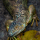 Iguana shallow depth of field with focus on the eye - PhotoDune Item for Sale