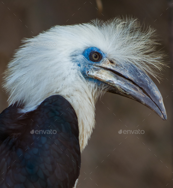 The white-crowned hornbill Berenicornis comatus - Stock Photo - Images