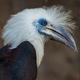 The white-crowned hornbill Berenicornis comatus - PhotoDune Item for Sale