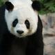 The Giant Panda Ailuropoda melanoleuca - PhotoDune Item for Sale
