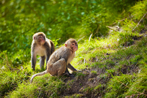 Rhesus macaques in India - Stock Photo - Images