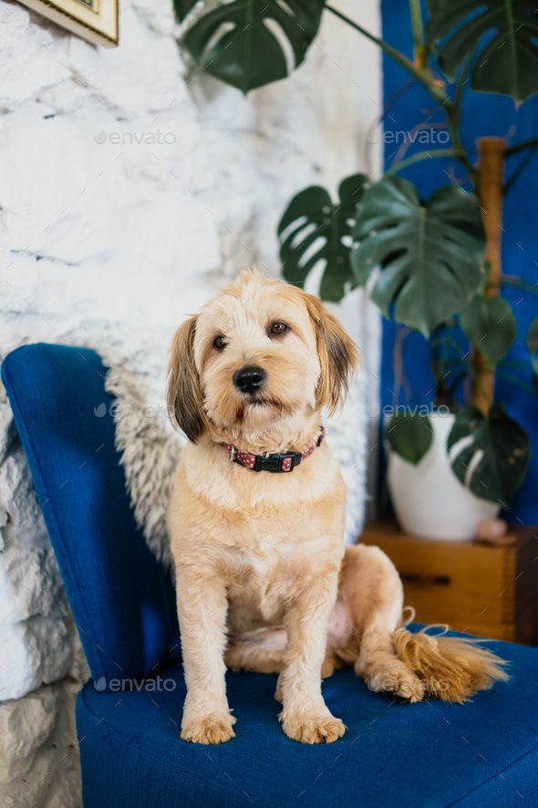 Dog sitting on a blue armchair  - Stock Photo - Images