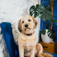 Dog sitting on a blue armchair  - PhotoDune Item for Sale