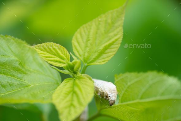 silkworm - Stock Photo - Images