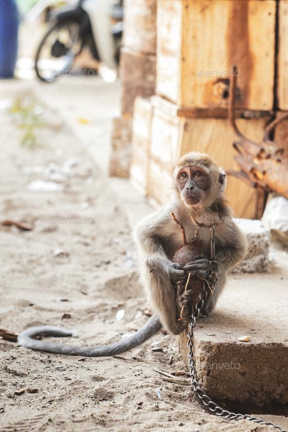 KUCHING / SARAWAK  / MALAYSIA / JUNE 2014: Small monkey chained - Stock Photo - Images
