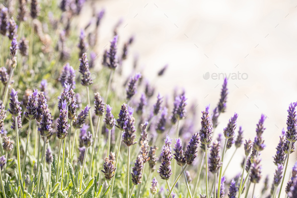 Lavender flowers, Closeup view of a lavender field blooming in spring - Stock Photo - Images