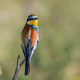 european bee eater (merops apiaster) - PhotoDune Item for Sale