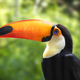 Colorful Toucan Portrait - PhotoDune Item for Sale