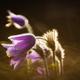 Pasque flower - PhotoDune Item for Sale