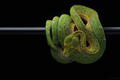 Green tree python isolated on black - PhotoDune Item for Sale