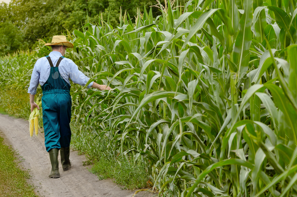 Middle age Farmer inspecting maize at field - Stock Photo - Images