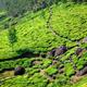 Tea plantations in Kerala, India - PhotoDune Item for Sale