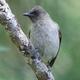 Common Bulbul (Pycnonotus barbatus) - PhotoDune Item for Sale