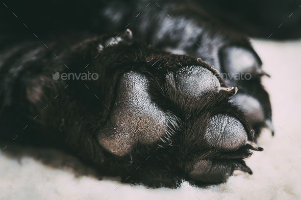 Dog labrador paw with pads - Stock Photo - Images