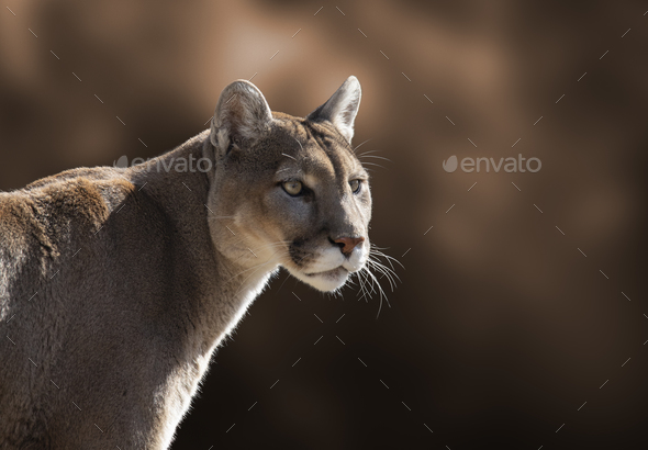 Mountain Lion Closeup Portrait - Stock Photo - Images