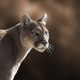 Mountain Lion Closeup Portrait - PhotoDune Item for Sale