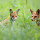 Foxes in a clearing - PhotoDune Item for Sale