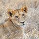 Lion in National park of Kenya - PhotoDune Item for Sale