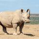 African white rhino - PhotoDune Item for Sale