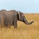 Elephant in National park of Kenya - PhotoDune Item for Sale