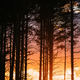 Sunset Sunrise In Pine Forest. Close View Of Dark Black Spruce T - PhotoDune Item for Sale