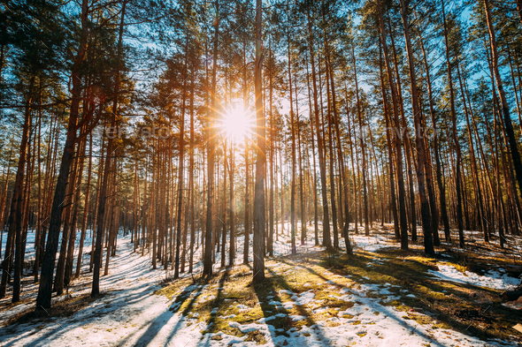 Beautiful Sunset Sun Sunshine In Sunny Early Spring Coniferous F - Stock Photo - Images