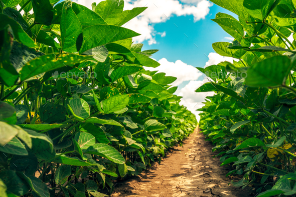 Close up of organic soybean crop growing in the field - Stock Photo - Images