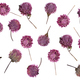 flat pressed dried flower isolated on white - PhotoDune Item for Sale