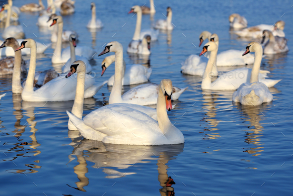 Beautiful swans (Cygnus olor) on blue lake in sunny day. Swans a - Stock Photo - Images
