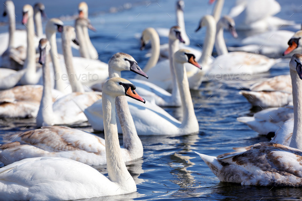 Beautiful swans (Cygnus olor) on blue lake in sunny day - Stock Photo - Images