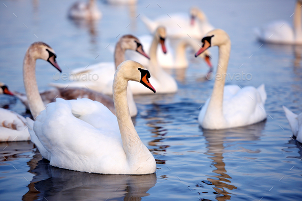 Beautiful swans (Cygnus olor) swim in blue water. Swans are refl - Stock Photo - Images