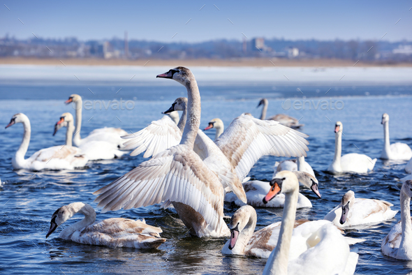 Group of white swans (Cygnus olor) swim in blue water. Swans are - Stock Photo - Images