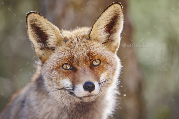Fox Head With Geen Background Wildlife In The Forest Animal Stock Photo By Abbphoto