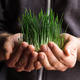 Sprouted organic wheat in farmer's hands - PhotoDune Item for Sale
