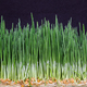 Green fresh young wheat close up - PhotoDune Item for Sale