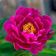 Dark pink peony flower growing in the garden, horizontal, closeup - PhotoDune Item for Sale