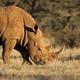 White rhinoceros in natural habitat - PhotoDune Item for Sale