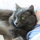 Nebelung cat - PhotoDune Item for Sale