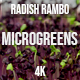 Microgreens Radish Rambo 3 - VideoHive Item for Sale