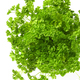 Fresh green parsley - PhotoDune Item for Sale
