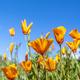 Poppies blooming on hillside - PhotoDune Item for Sale