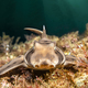 Horn Shark on California Reef - PhotoDune Item for Sale