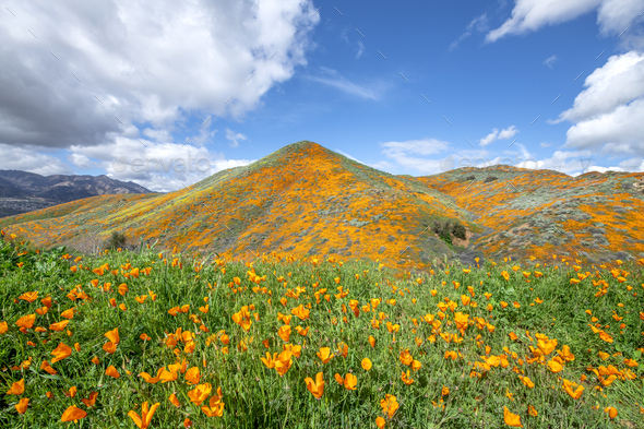 Poppies blooming on hillside - Stock Photo - Images