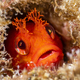 Red fringehead blenny - PhotoDune Item for Sale
