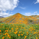 Poppies blooming on hillside - PhotoDune Item for Sale