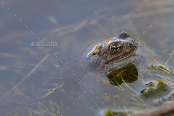 European common frog (Rana temporaria) - Stock Photo - Images