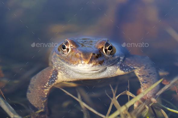 European common frog (Rana temporaria) - Stock Photo - Images