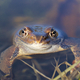 European common frog (Rana temporaria) - PhotoDune Item for Sale