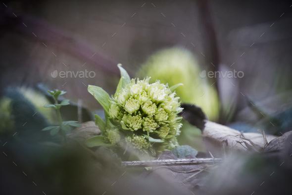 Petasites albus springtime forest herb - Stock Photo - Images